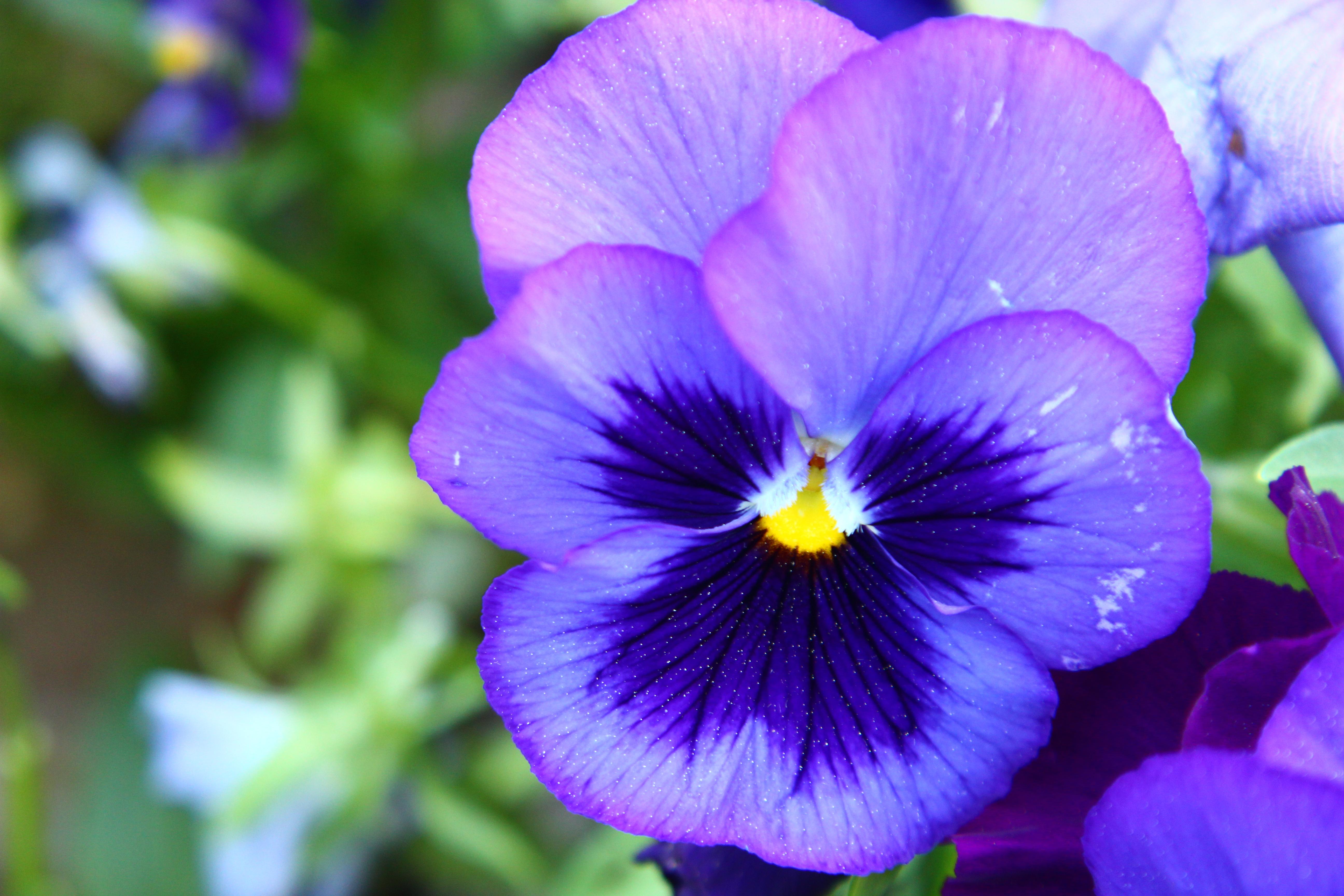 The Purple Pansie Thomas Vasas Photography