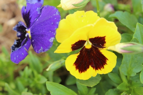 Blue and Yellow Pansie