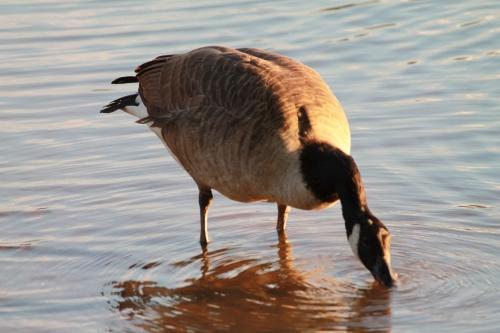 The Feeding Goose