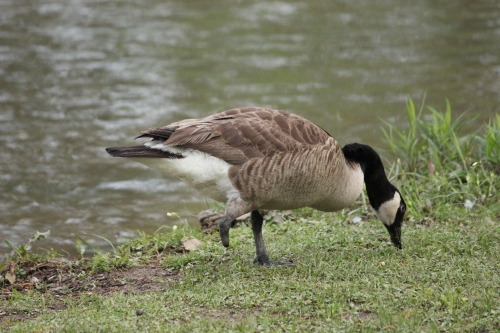 The Short Legged Goose