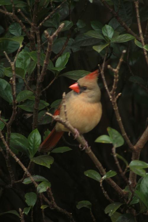 Cardinal in the Bush