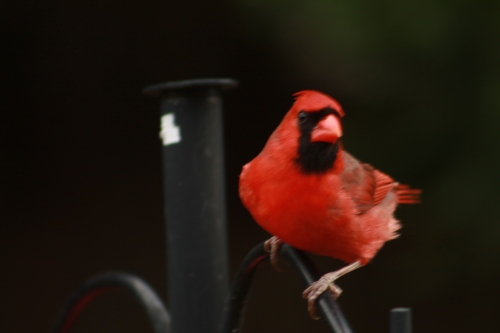 The Bright Red Cardinal