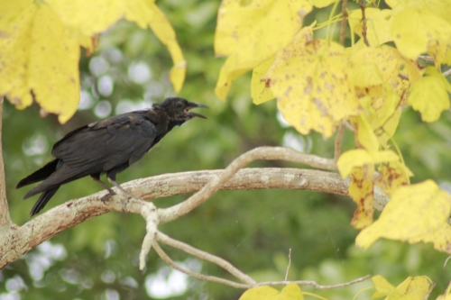 The Talking Crow